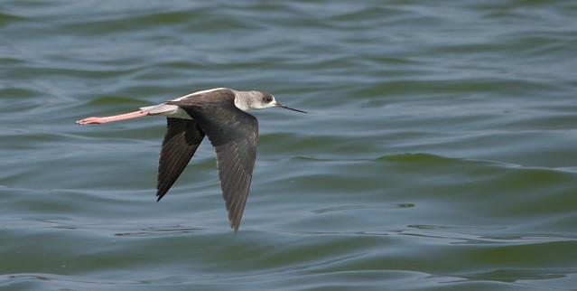 Black winged stilt Juvenile in flight Salinas del Janubio 2