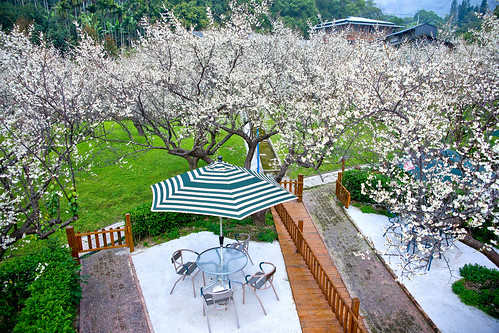 梅林親水岸 - Plum blossoming - May-Lin Gin-Shui-An - Shinshou - Taichung City
