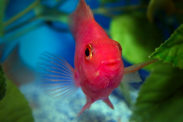 Purple Parrot Cichlid   Flickr - Photo Sharing!
