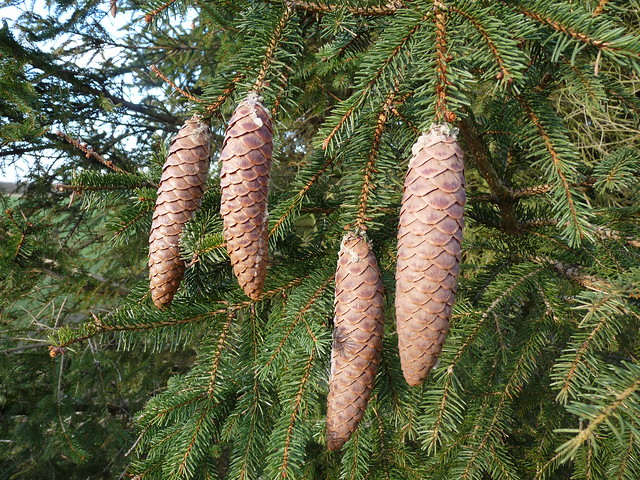 Norway Spruce definition/meaning