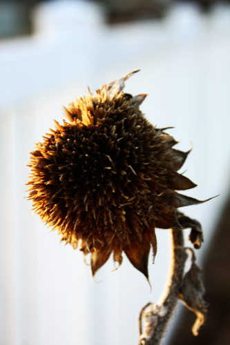 Coneflower Watching Sun