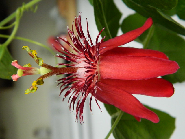 some of my passiflora - Page 3 6717517023_69720e453f_z
