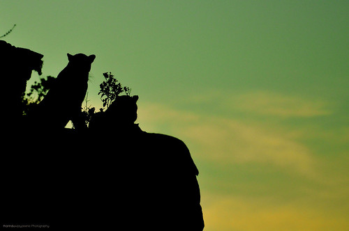 morning silhouette sunrise nikon wildlife leopard srilanka morningsun leopards yalanationalpark srilankanleopard srilankanwildlife 70300vr youngleopard d7000 nikond7000 wildlifesilhouette leopardsilhouette
