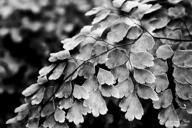 maidenhair5