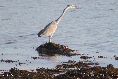 Heron, Mylor Creek by Stocker Images
