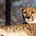 Cheetah  الفهد الصياد -   Explore