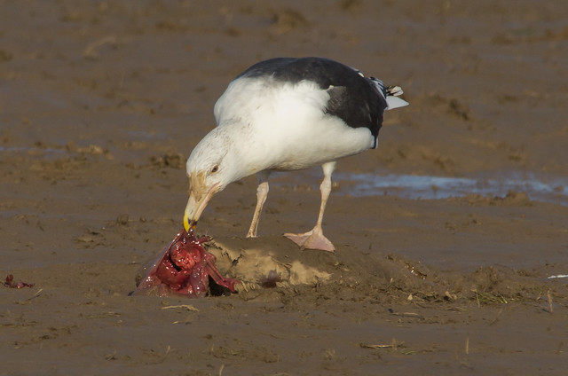 adult black backed gull on seal pup carcass