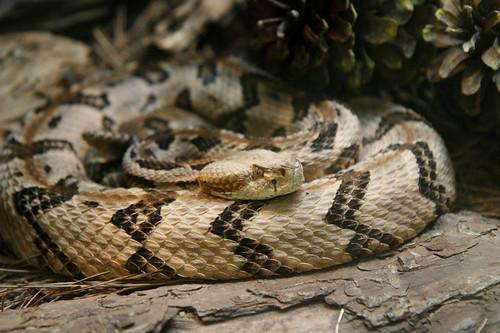 Pit Viper: Diamondback Rattlesnake