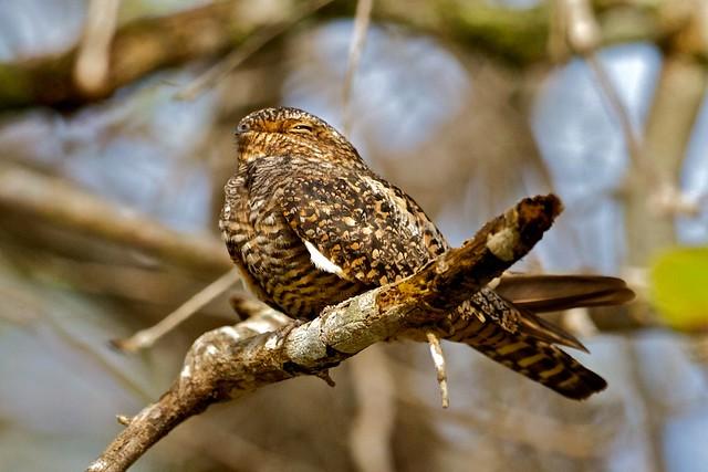 Imagen de una de las aves del Quindio: Guardacaminos Comun (Nyctidromus albicollis)