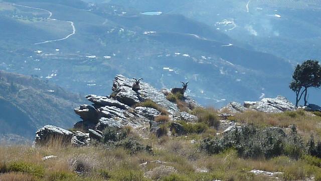 Machos de Cabra Montés en Lanjarón, Sierra Nevada.