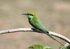 animal, bee eater, branch, wing, green, fauna, beak, bird, wildlife,