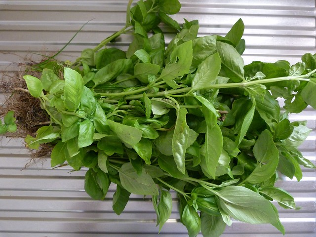 Harvested basil