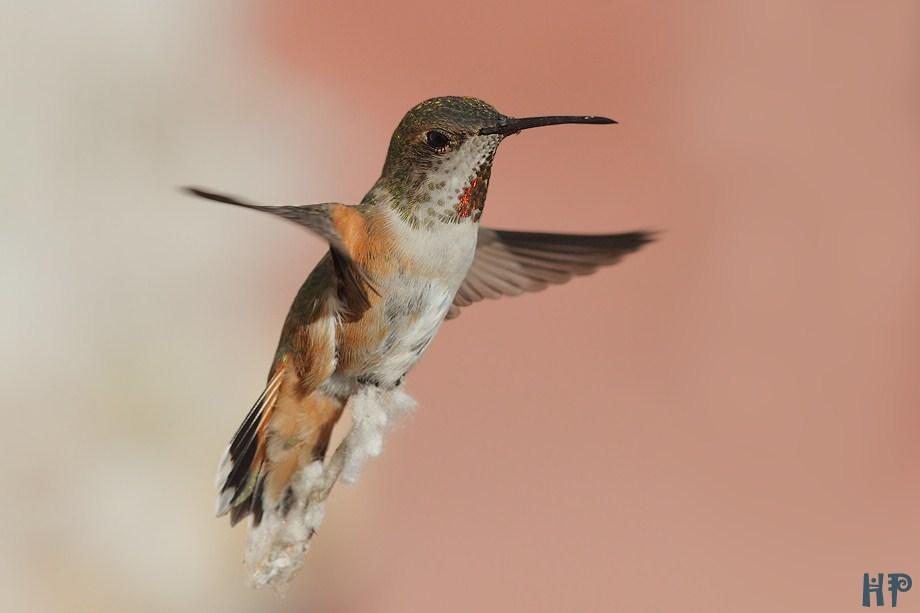 Allen's Hummingbird 020612-3
