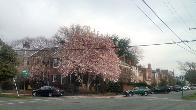 Cherry Blossoms in Old Town Alexandria, Virginia