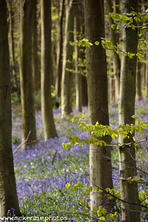 bluebells through the trees