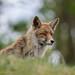 fox - vos - Vulpes Vulpes