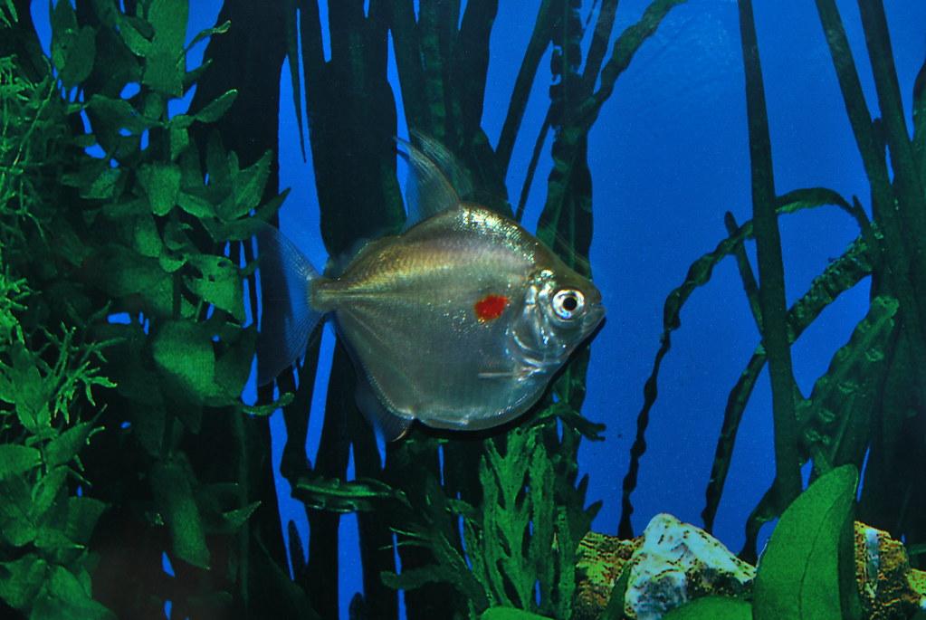 Silver Dollars With Red Dots Tropical Fish Keeping Aquarium Fish