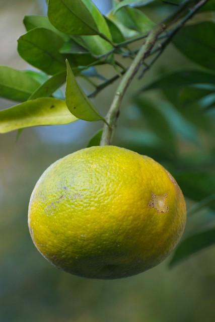 garden citrus