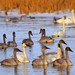 IMG_5123 Trumpeter Swan, National Elk Refuge by ThorsHammer94539