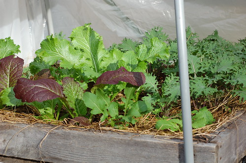 Happy in the hoop house by Eve Fox, Garden of Eating blog, copyright 2011