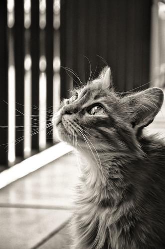 [フリー画像素材] 動物 1, 猫・ネコ, モノクロ ID:201112011200