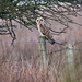 Short-eared Owl (Again)