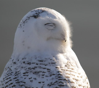 Snowy Owl blinks