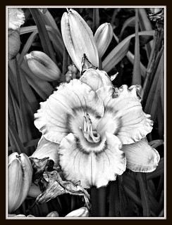 Day lily in black and white