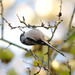 Long Tailed Tit - Armagh