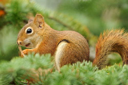 Red Squirrel In A Pine Tree