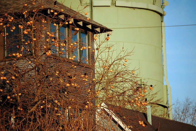 Starlings, persimmon tree, Sabin water tower