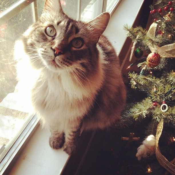 Who, me? #christmas #cats