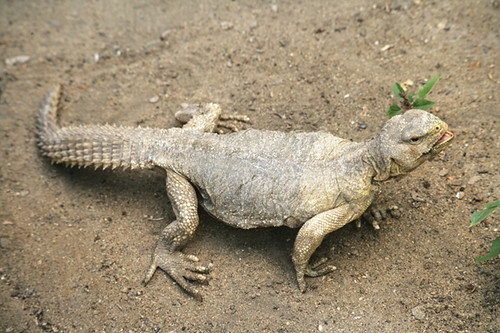 Uromastyx aegyptia (Forskal, 1775) - Egyptian Dabb lizard/ Egyptian Mastigure/ Egyptian Spiny-tailed Lizard   ضب مصري