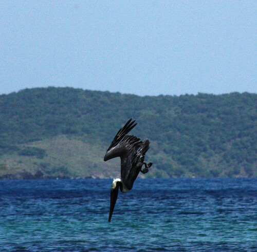 sea bird fishing diving pelican bvi virginislands britishvirginislands