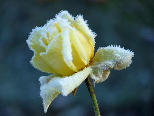 Cold yellow rose
