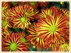 Chrysanthemum hybrid (Mums) with yellow and orange flowers at a garden centre