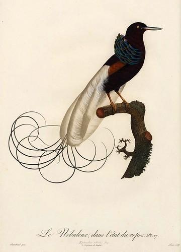 003-El nebuloso en reposo-Histoire naturelle des Oiseaux de paradis et des Rolliers.. 1806-François Levaillant