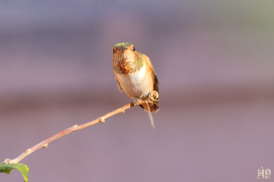 Allen's Hummingbird 122411-2