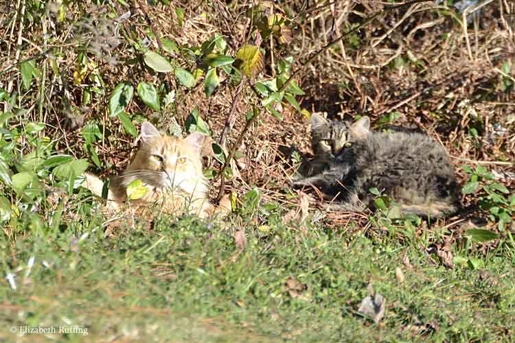 Feral cats sunbathing, photo by Elizabeth Ruffing