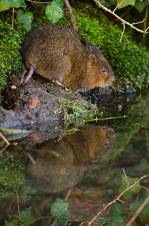 Water vole at Arundel