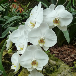 Chicago, Lincoln Park Conservatory, White Orchids