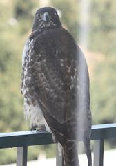 Hawk glaring