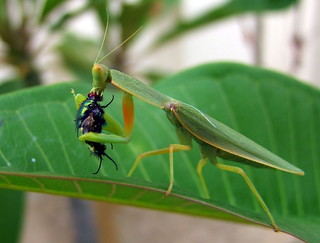 Bad Choice of Leaf for the Fly, Good Meal for the Praying Mantis!