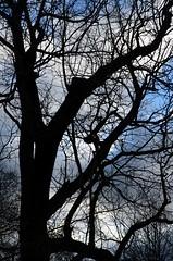 The Marble Hill Black Walnut