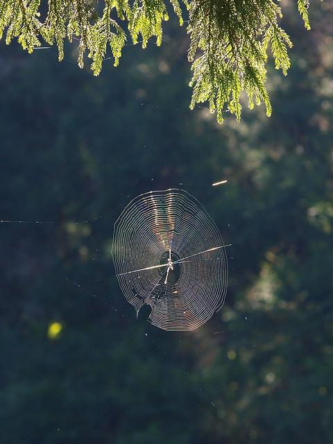像光碟片一般的蜘蛛網