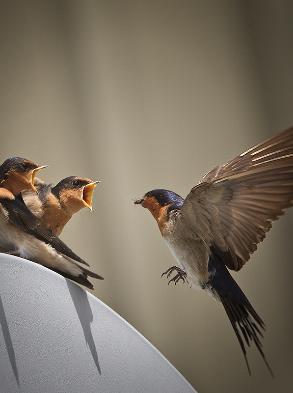 Swallows ready to swallow