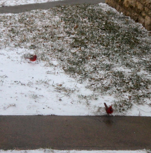 Red birds in the snow