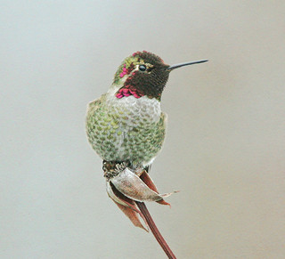Textured Anna's Hummingbird