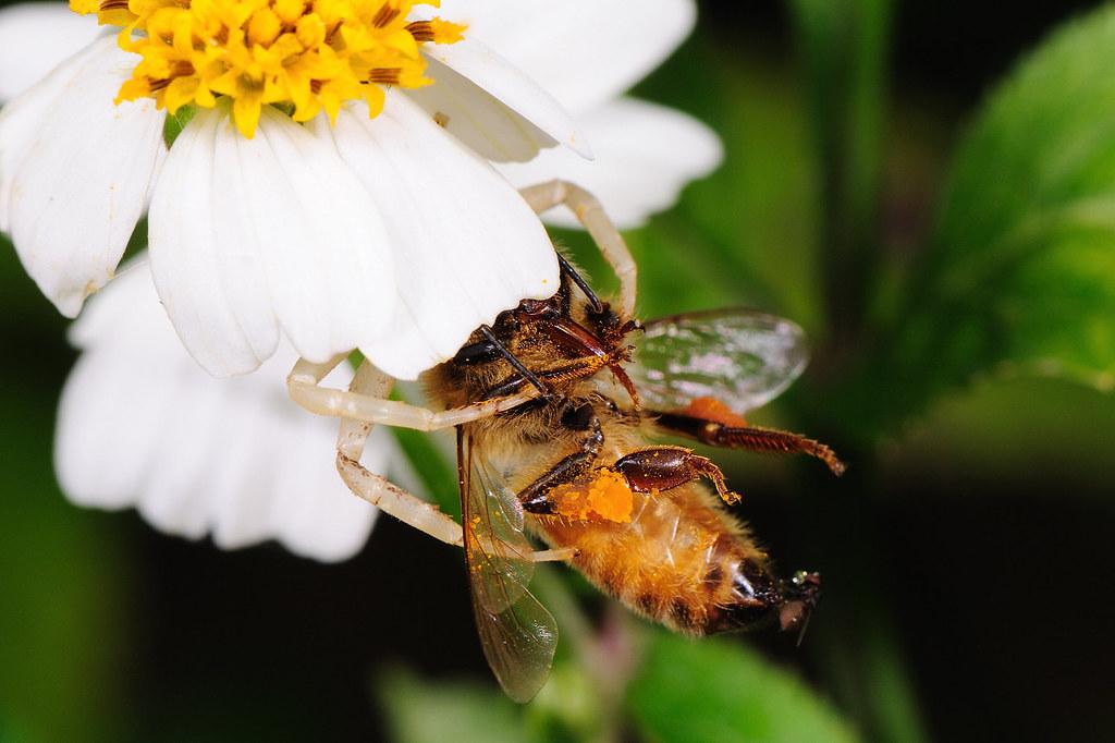 花蛛捕食義大利蜂