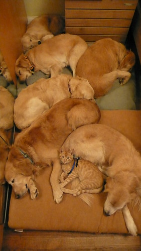 All 6 dogs with Tintin sleeping L1040879